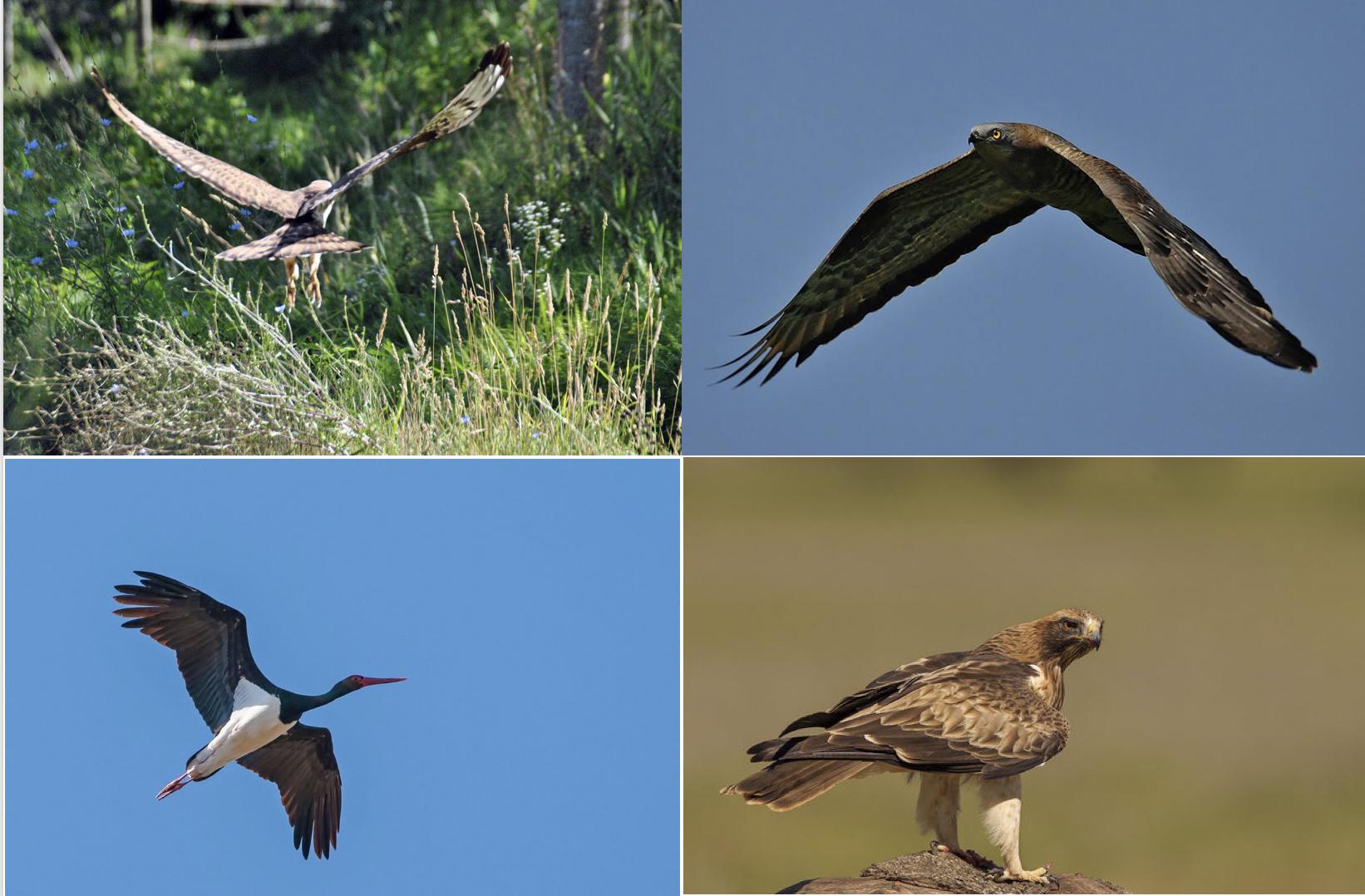 Il suggerimento che non ti aspetti: campi di birdwatching sulle colline di San Colombano per la migrazione dei falchi pecchiaioli e altri a