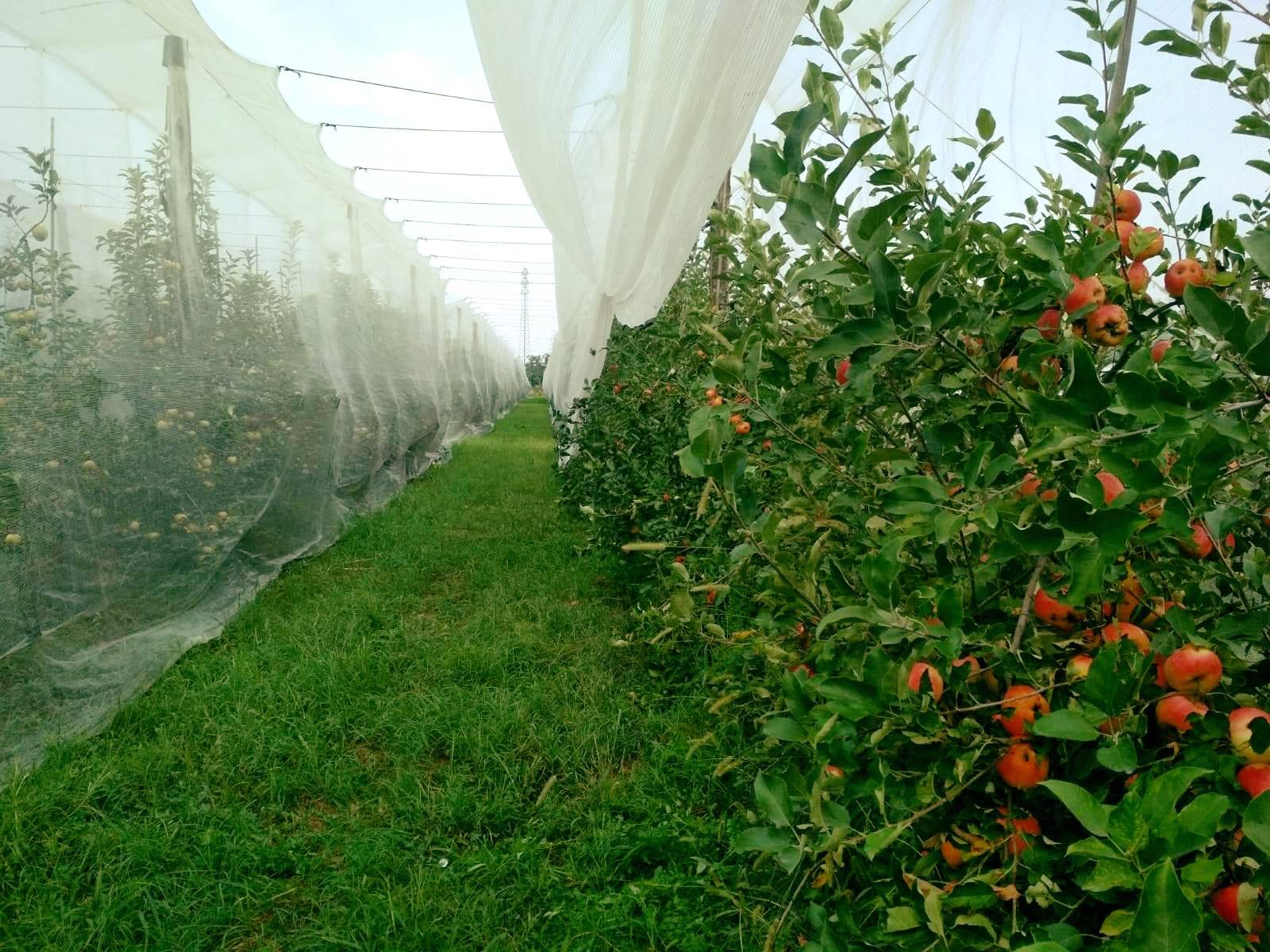 Settembre è il mese delle mele A Frutta In Campo puoi coglierle sull'albero La bontà che non ti aspetti nei campi di Milano